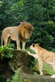 Male and female lions — Stock Photo
