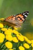 Primo piano di una farfalla Painted Lady — Foto Stock