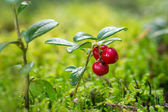 Closeup of wild and ripe lingonberries — Stock Photo