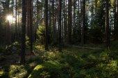 Sonnenschein in einem üppigen und grünen Wald — Stockfoto