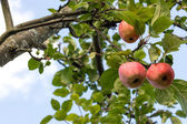 Red apples in a tree, viewed from below — Stock Photo