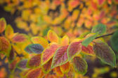 Leaves of Hedge (Shiny cotoneaster) in autumn colors — Stock Photo