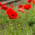 Red poppy flower blossom next to railroad tracks — Stock Photo #63426517