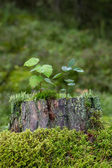 Saplings, moss and lichen on top of a stump of a tree — Stock fotografie