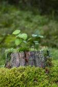 Saplings, moss and lichen on top of a stump of a tree — Stock Photo