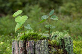 Closeup of saplings, moss and lichen on top of a stump of a tree — Stock Photo