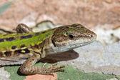 Closeup of a Viviparous lizard — Stock Photo