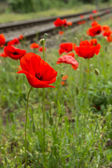 Red poppy flower blossom next to railroad tracks — ストック写真