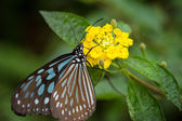 Liuchiou Blue Spotted Milkweed Butterfly — Stockfoto