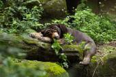 Sleepy Asian black bear lying — Stockfoto