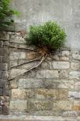 Bush with strong roots growing at a wall — ストック写真