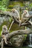Group of Formosan Macaque monkeys sitting — ストック写真
