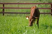 Genç inek çim yeme — Stok fotoğraf