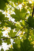 Backlit green maple leaves outdoors — Stock Photo