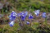 Small and wet Anemone hepatica flowers — Stock Photo