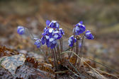 Wet Anemone hepatica flowers blossom — Stock Photo