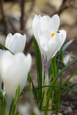 White Crocus Vernus flowers blossom — Stock Photo