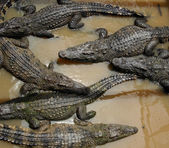 Bunch of crocodiles — Stock Photo