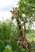 Tall giraffe standing — Stock Photo