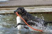 Black Labrador Retriever dog with a buoy — Stock Photo