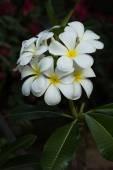 Close-up of Plumeria flowers — Stock Photo