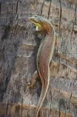 Closeup of a viviparous lizard climbing up a palm tree — Stock Photo