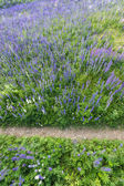Path in the middle of a lupine field — Stock Photo