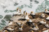 Courting gannets on cliffs — Stock Photo