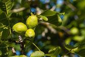 Sunlit walnut husks — Stock Photo