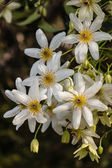 Backlit white clematis flowers — Stock Photo
