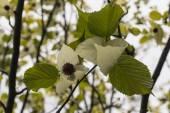 Handkerchief tree flowers — Stock fotografie