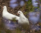 White doves on ground — Stock Photo