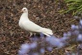 White dove on the ground — Stock Photo