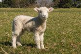 Staring little lamb — Stock Photo