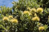 Yellow-flowering Pohutukawa tree — Stock Photo