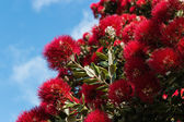 Detail of Pohutukawa tree flowers — Stock Photo