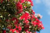 Pohutukawa tree flowers against blue sky — Stock Photo