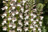 Detail of acanthus plant flowers — Stock Photo