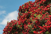 Pohutukawa tree in bloom — Stock Photo