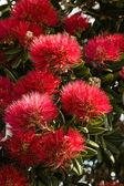 Detail of Pohutukawa flowers — Stock Photo