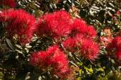 Blooming Pohutukawa tree — Stock Photo