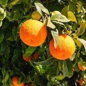 Bitter oranges growing on tree — Stock Photo