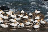 Gannets nesting on cliffs — Stock Photo