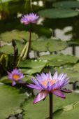 Fioletowy lilie wodne — Zdjęcie stockowe