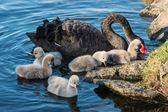 Black swan with cygnets — Stock Photo