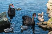 Pair of black swans with cygnets — Stock Photo