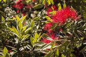 Pohutukawa tree flowers and leaves — Stock Photo