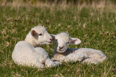 Two lambs resting on grass — Stock Photo