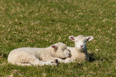 Resting newborn lambs — Stock Photo