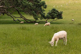 Sheared sheep grazing — Stock Photo